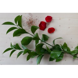 RUSCUS (10 TIGES)