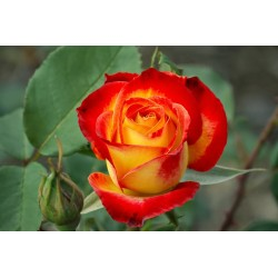 Rosa High Magic 60 cm - Pack 25 unitats - Des de 1.05€